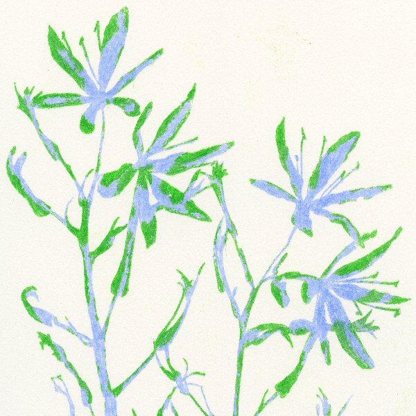 Camassia Blue Green